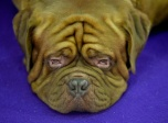 Un perro de Burdeos permanece tumbado durante el segundo día de competencia de la 140 edición del show anual de perros del Club canino de Westminster, en Nueva York, el 16 de febrero de 2016. AFP / Timothy A. Clary